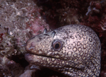 Jeweled Moray, Sea of Cortez