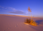 Soaptree Yucca, White Sands, New Mexico