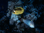 Stripped Butterfly Fish and Checkerboard Wrasse