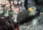 Orange-striped Triggerfish, Red Sea