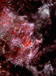 Bloody Frogfish, Sea of Cortez