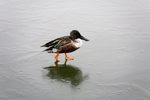 Shoveler walking on ice