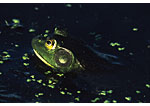 Green frog partially submerged in duckweed laden water.