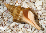 The horse conch holds several distinctions in Florida.  As the state's largest and - possibly - oldest mollusk, it was chosen as the State Shell which may make it the only state symbol that is regularly eaten.