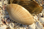 The abundance of these large, glossy bivalves - sunray venus clams -  along the coast of northwestern Florida spawned a commercial fishing industry about 25 years ago.