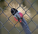 This captive West African Crowned Crane (Balearica pavonina pavonina) curiously inspects both avian and human passersby strolling through the Sylvan Heights Waterfowl Park, Eco-Center, and Captive Breeding Research Facility in Scotland Neck, North Carolina.