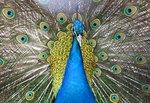 Close-up of an Indian blue peacock, Pavo cristatus, in full display.