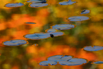 Reflected autumn colors surround lily pads adorning the surface of Bass Lake in Moses Cone Memorial Park, Blowing Rock, North Carolina.