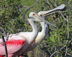 A pair of roseate spoonbills collecting sticks to build a nest.