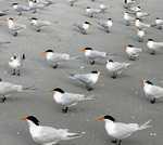 Royal terns scattered across beach.