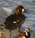 Female lesser scaup preparing to launch herself into the salt water along northwest Florida's Gulf Coast. 