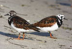Ruddy turnstones feeding on Gulf Coast beach.
