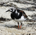 Ruddy turnstone feeding on beach along northwest Florida's Gulf Coast.