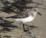 Sanderling feeding along shoreline of northwest Florida's Gulf Coast.