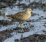 Short-billed dowitcher feeding along tidal flats of northwest Florida's Gulf Coast.