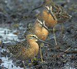 Short-billed dowitchers feeding along tidal flats of northwest Florida's Gulf Coast.