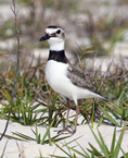 Wilson's plover guarding its nest among the dunes along northwest Florida's Gulf Coast.