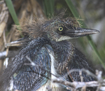 Punk-looking tri-colored heron chick sitting in nest.