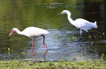 White ibis and snowy egret feeding together along pond shoreline.