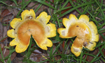 Yellow flower-shaped mushrooms shown growing on the floor of a live oak forest in northwest Florida.