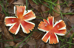 Red star-shaped mushrooms shown growing on the floor of a live oak forest in northwest Florida.