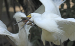 Snowy egret adult feeding fledgling chick.