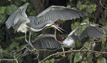 Tri-colored heron feeding fledgling chick.