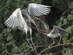Tri-colored heron adult feeding fledgling chick.