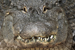 "Alligator showing toothy ""grin""."