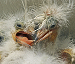 Cattle egret chicks in nest.