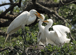 Great egret adult feeding fledgling chicks.
