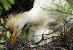 Cattle egret adult and chick in nest.