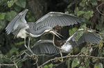 Tri-colored heron fledglings fighting for dominance.