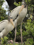 Wood stork fledglings ready to leave nest.