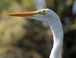 Portrait of great egret fledgling.