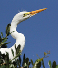 Portrait of great egret fledgling