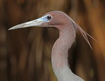 Portrait of little blue heron fledgling