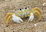 Ghost crab portrait