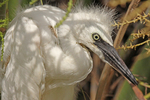 Portrait of snowy egret fledgling
