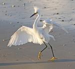 Snowy egret dancing along tidal flat.
