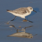 Sanderling running along tide line.