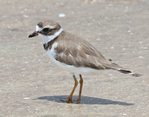 Semi-palmated plover standing on tidal flats.