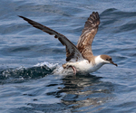 Shearwater taking off ocean surface.