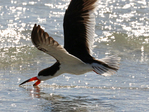 Black skimmer feeding along surf line.