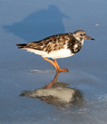 Ruddy turnstone feeding on tidal flats.