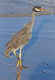 Yellow-crowned night heron feeding on tidal flat.