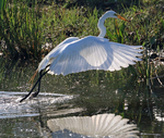 Great egret catching a small fish