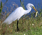 Great egret holding captured fish