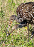 Limpkin adult feeding snail to young