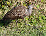 Limpkin walking